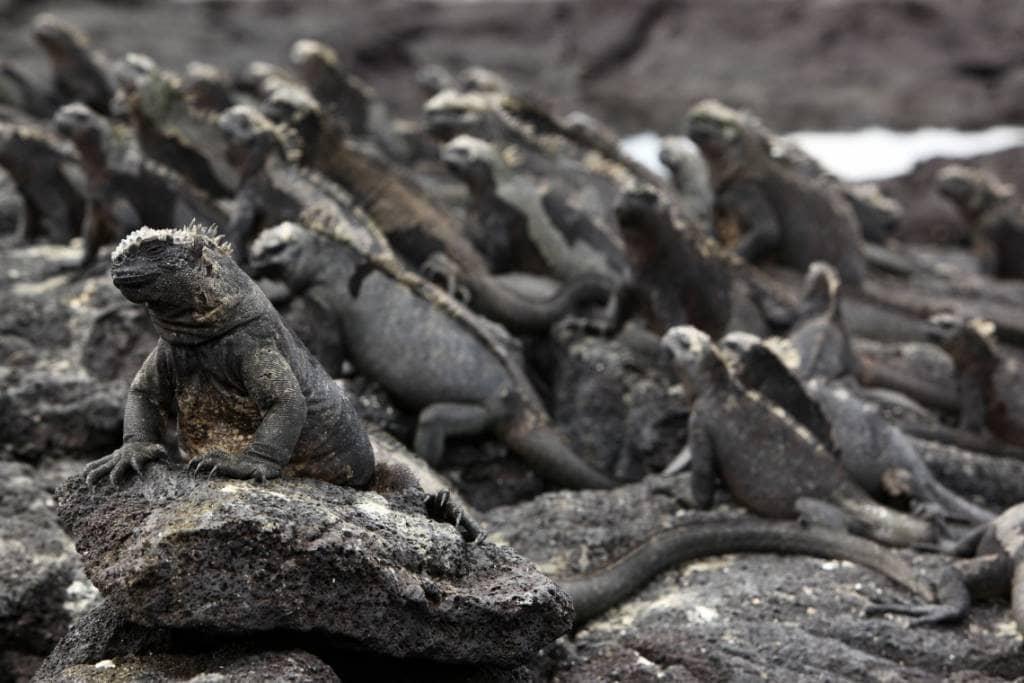Große Meerechsenkolonien - typisch für die Galapagos-Fernandina