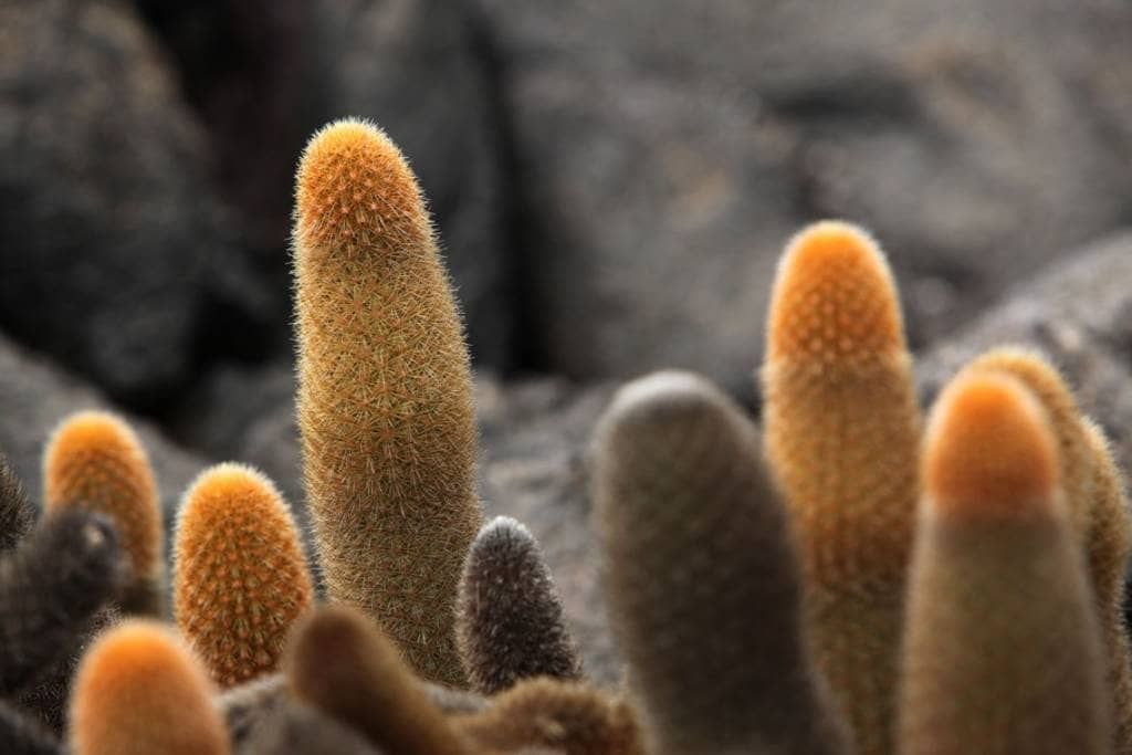 Der hier sehr typische Lavakaktus der Galapagos-Insel Fernandina