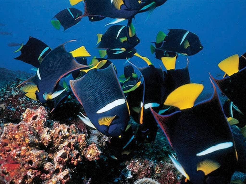 Tropische Fischschwärme auf einer Tauchsafari vor den Galapagos-Inseln Darwin und Wolf