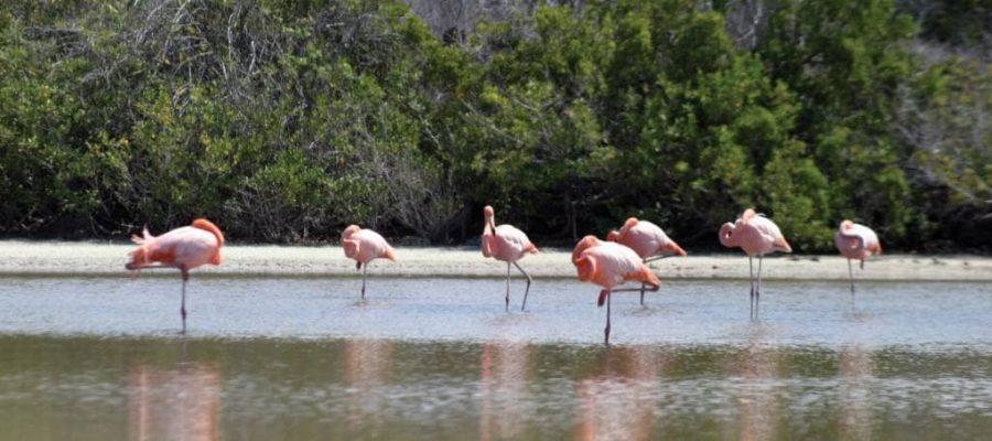 Flamingos in der Salzwasser-Lagune der Galapagos-Insel La Rábida