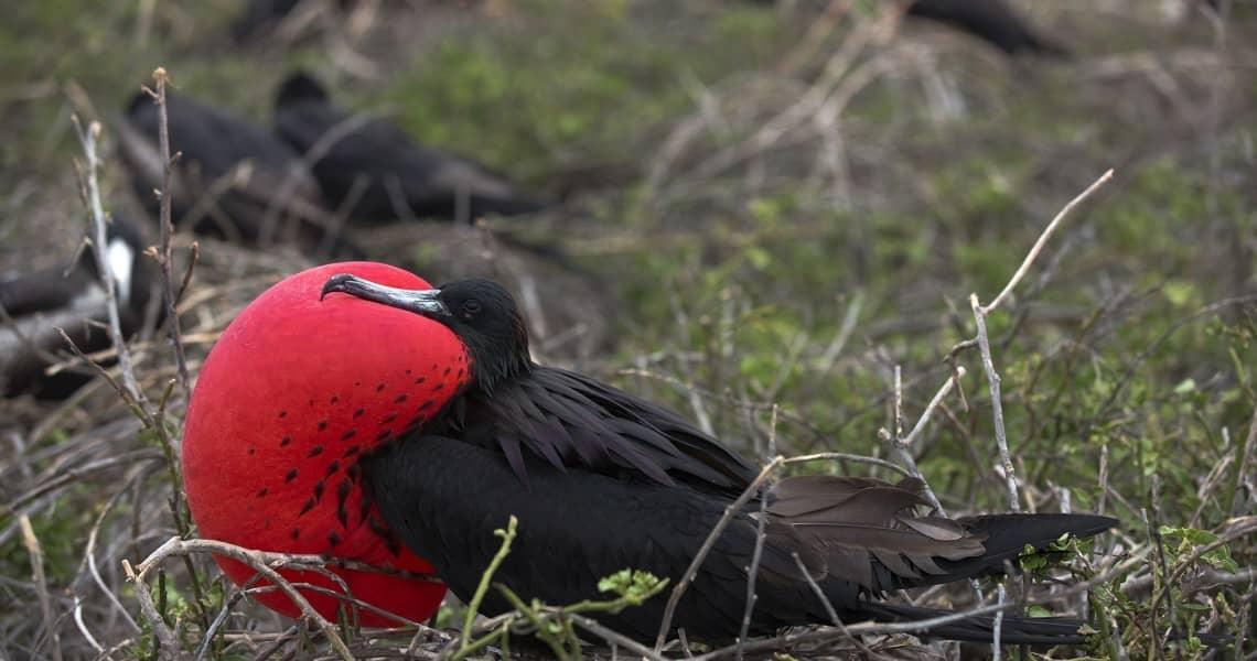 Galapagos PRO Bindenfregattvogel
