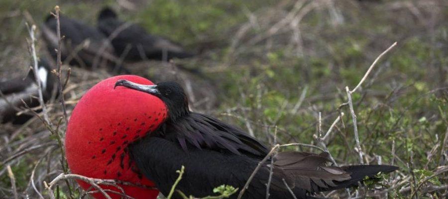 Ein männlicher Fregattvogel während der Balz - Die faszinierende Vogelwelt der Galapagos-Inseln