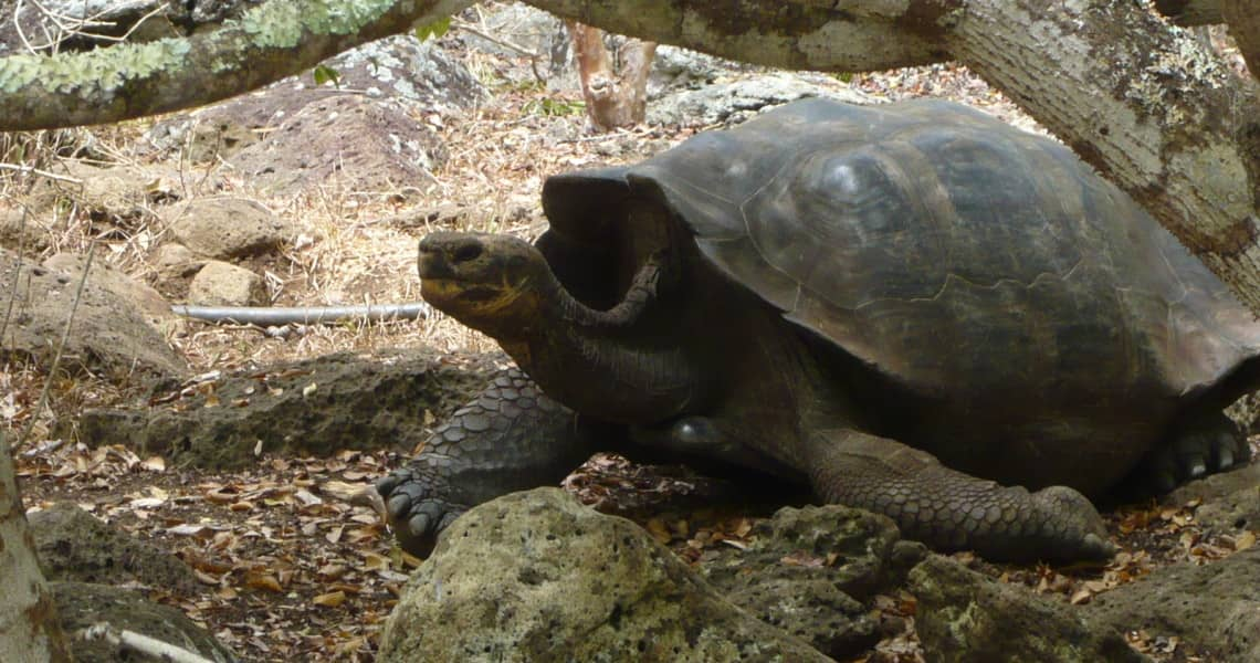 Schildkröte in der Galapaguera Auszuchtstation