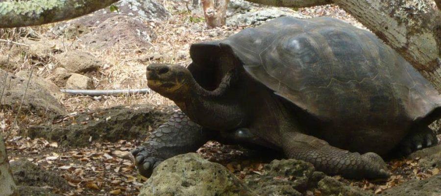 Schildkröte in der Galapaguera Auszuchtstation auf der Galapagos-Insel San Cristóbal