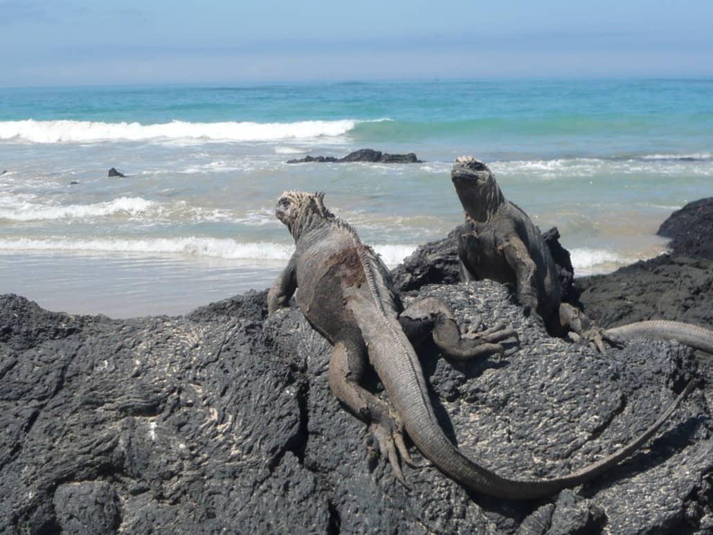 Der Strand von Isabela ist Meerechsenland - Entdecken Sie diese Urzeit-Tiere während Ihrer Galapagos-Reise