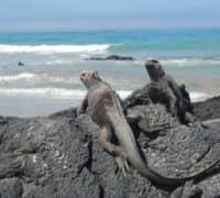 Meerechsen sind fast Immer am Strand der Galapagos-Insel Isabela