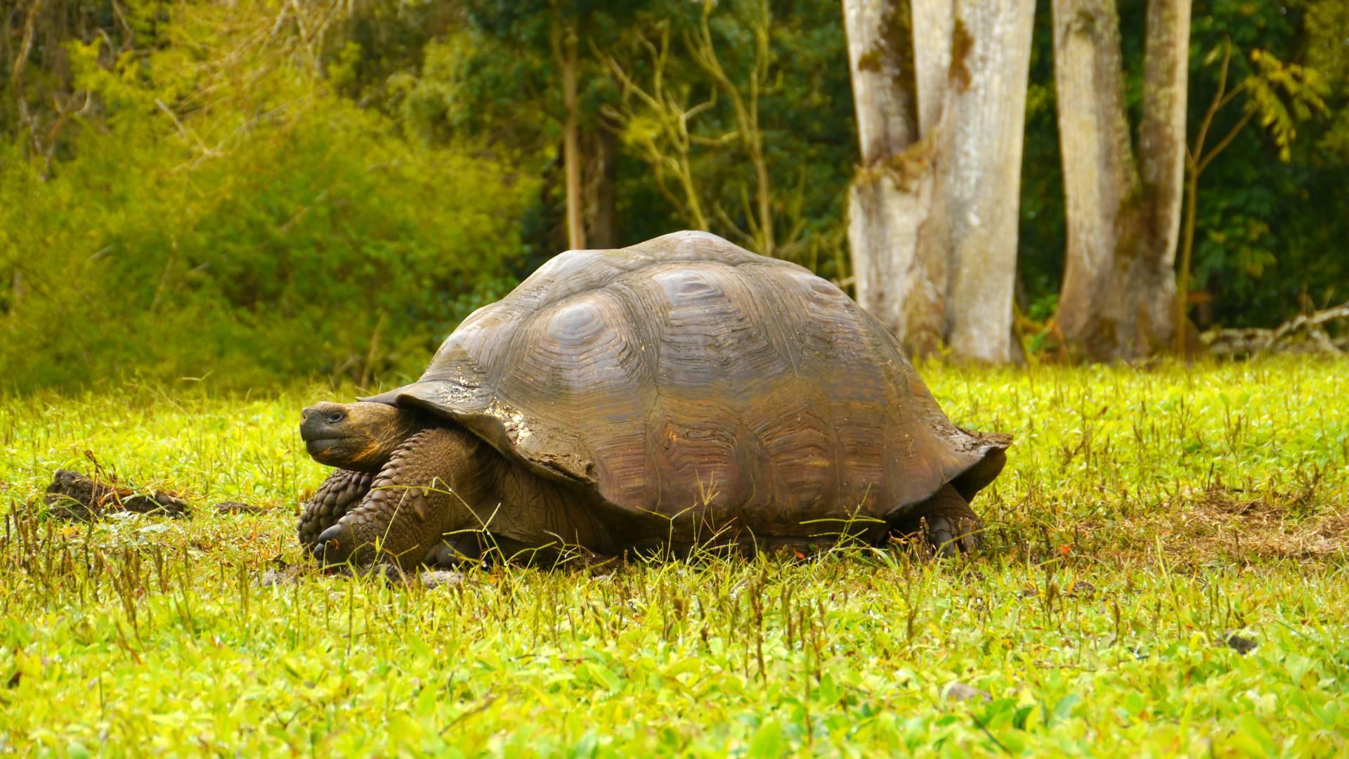 Die majestätischen Riesenschildkröten im Hochland der Galapagos-Insel Santa Cruz