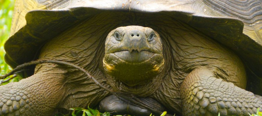 a close up picture of the Galapagos Giant tortoise