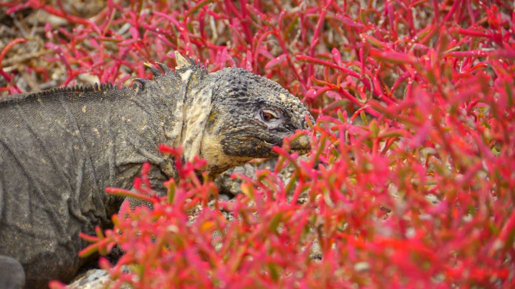 Galapagos island Plaza Sur is a land of contrasting colours: the golden land iguanas, the red leichen, green opuntia cactuses and turquoise waters.