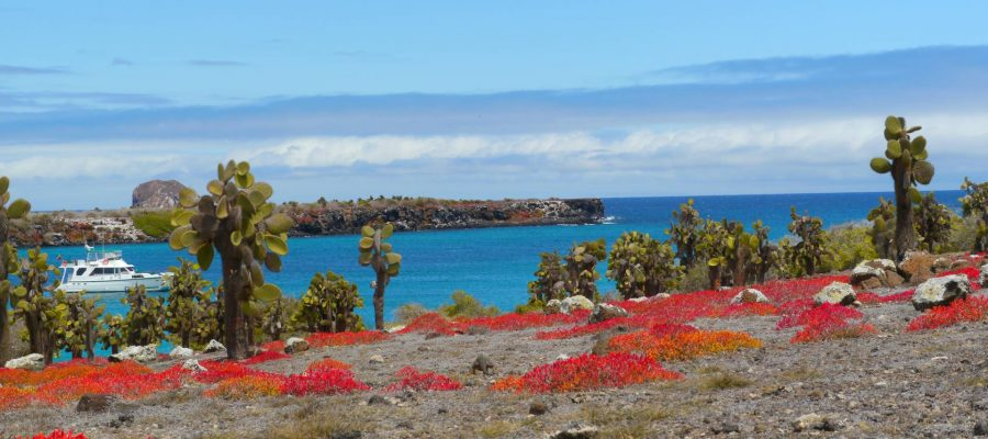 The beautiful red Galapagos sesuvium is a ground vegetation which grows on South Plaza Island