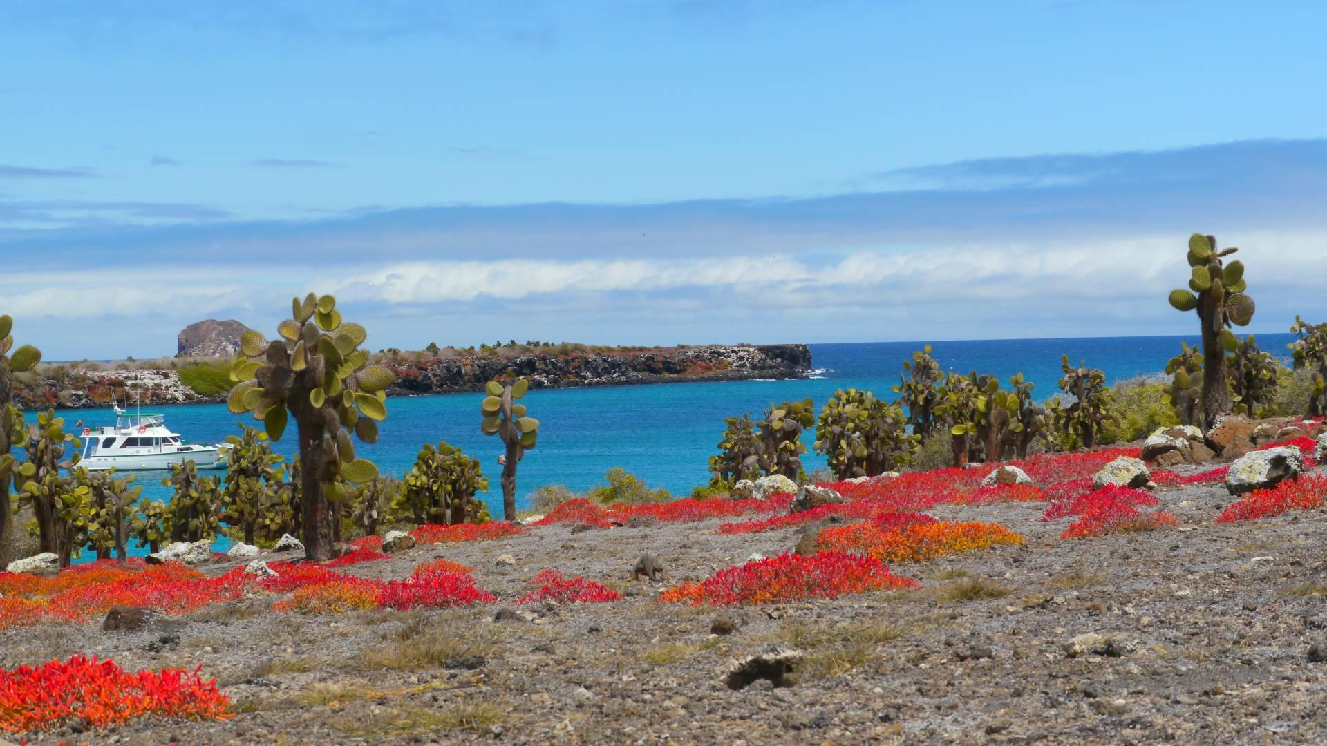 as leuchtend rote Sesuvium-Gewächs auf der Galapagos-Insel Plaza Sur