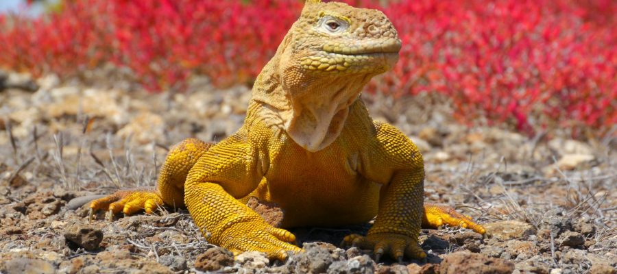 Galapagos island Plaza Sur is home to the golden land iguana