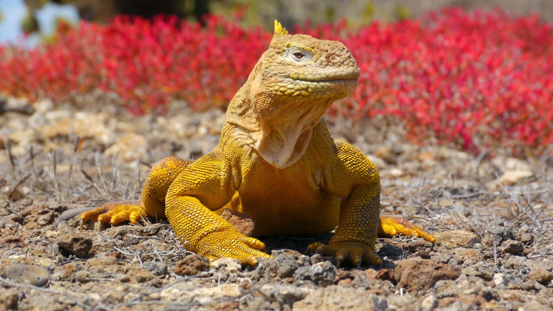 Die gelben Landleguane auf der farbenprächtigen Galapagos-Insel Plaza Sur