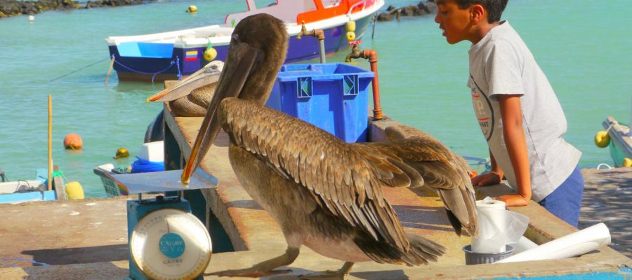 Galapagos-Inseln - Neugierige Pelikane auf dem Fischmarkt von Puerto Ayora, Santa Cruz