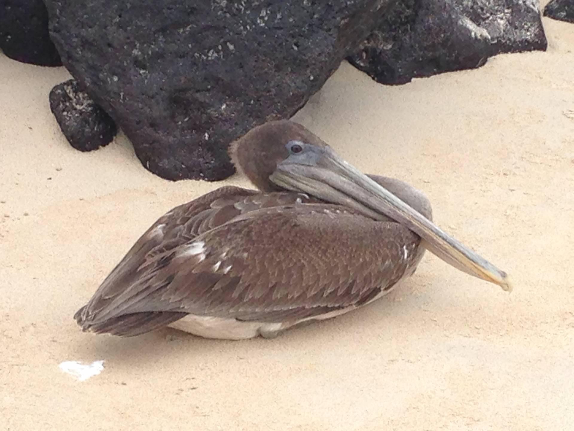 Pelikan auf der Galapagos-Insel Santa Fé