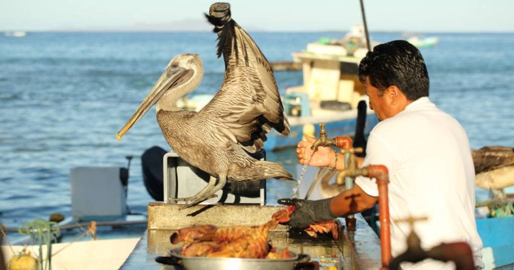 Pelikan im kleiner Fischmarkt in Puerto Ayora auf Galapagos-Insel Santa Cruz