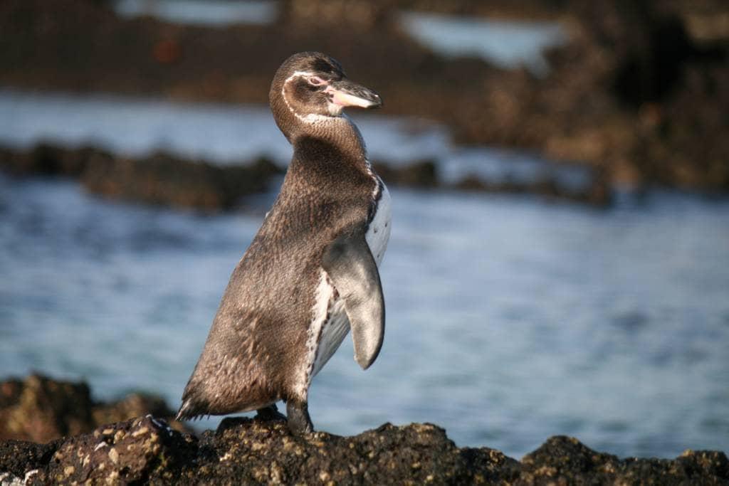 Die nördlichsten Pinguine der Welt sind zwischen den Galapagos-Inseln Santiago und Bartolomé zu finden.