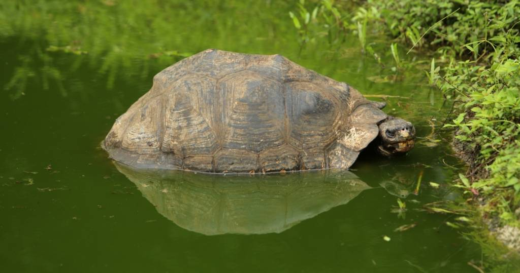 Riesenschildkröte beim Ausflug ins Hochland der Galapagos-Insel Santa Cruz