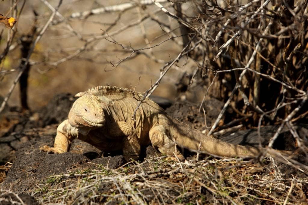 Immer auf der Suche nach den süßen Opuntien - Der gelbe Landleguan auf der Galapagos-Insel Santa Fé