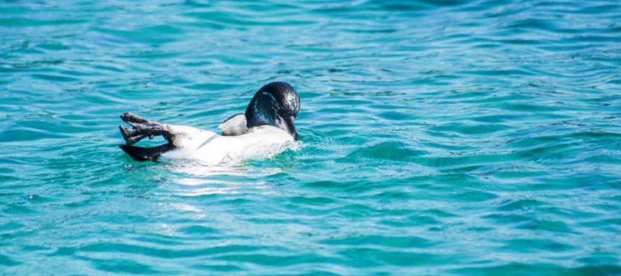 Galapagos - Schwimmen und Schnorcheln mit den nördlichsten Pinguinen der Welt