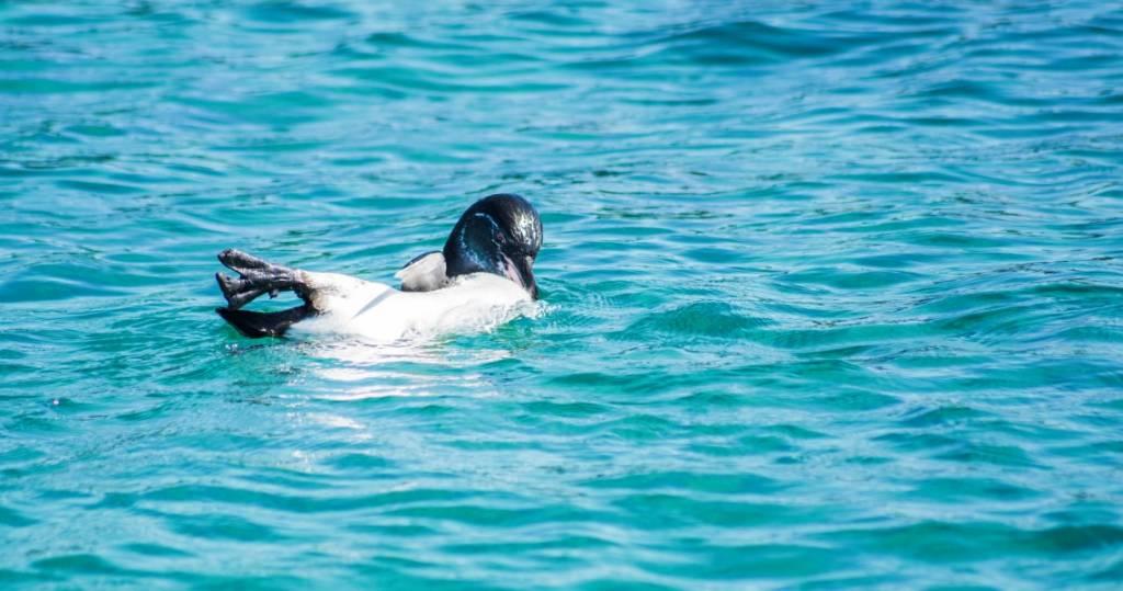 Urlaub mit Pinguinen - Schwimmen und Schnorcheln mit den nördlichsten Pinguinen der Welt