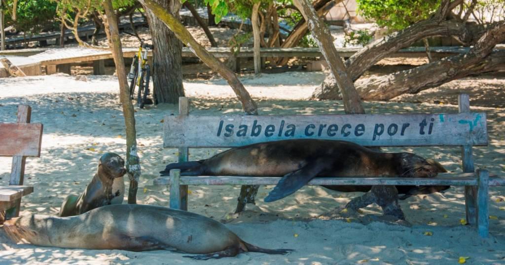 Seelöwe beim Mittagsschlaf auf Galapagos-Insel Isabela