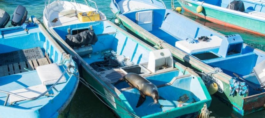 Curious sea lion in a fishing boat in the Galapagos Islands