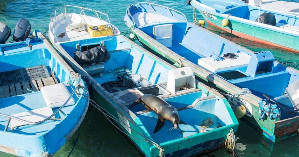 Seeloewe auf den Fischerbooten in Galapagos