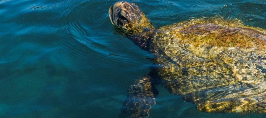 Sea turtles live and breed in the warm waters of the Galapagos Islands