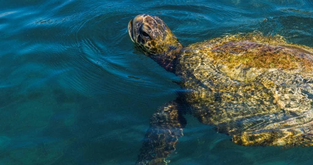 Wasserschildkroeten tauchen in Galapagos staendig auf und ab