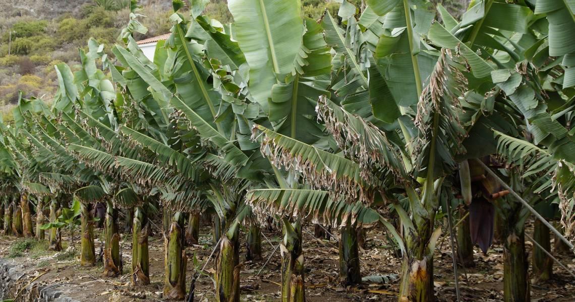 Bananen-Plantagen - Ecuador-Reisen – Küste und Traumstrände entdecken