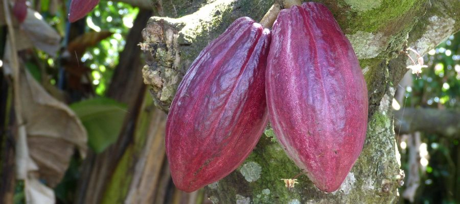 Ecuador Kakao National als Frucht am Baum