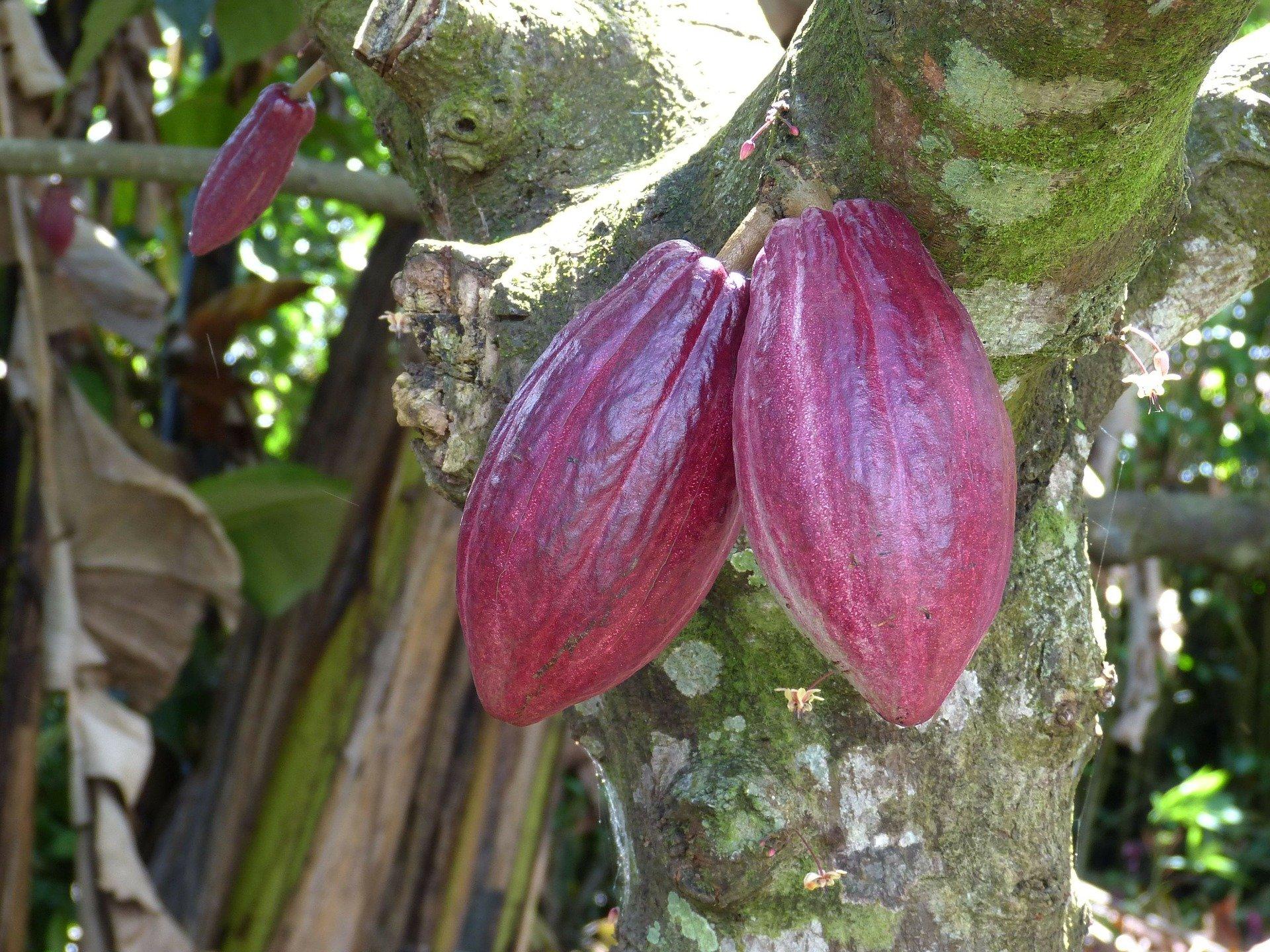 Die farbenfrohen Früchte der Kakaopflanze - Ecuador-Reisen – Küste und Traumstrände entdecken