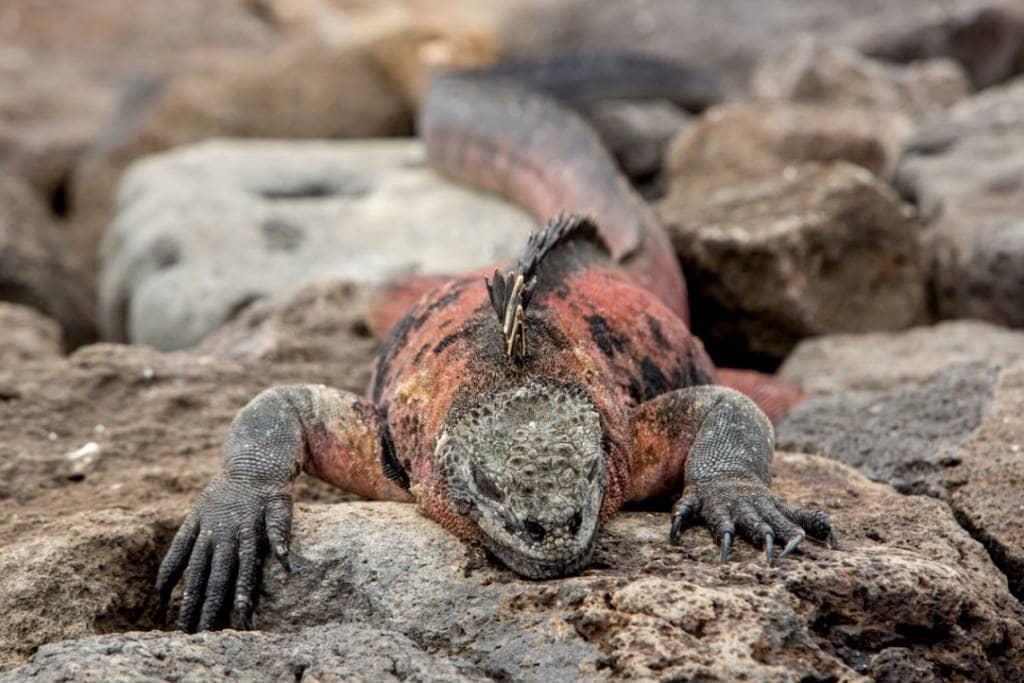 Eine farbenprächtige Meerechse auf der Galapagos-Insel Fernandina