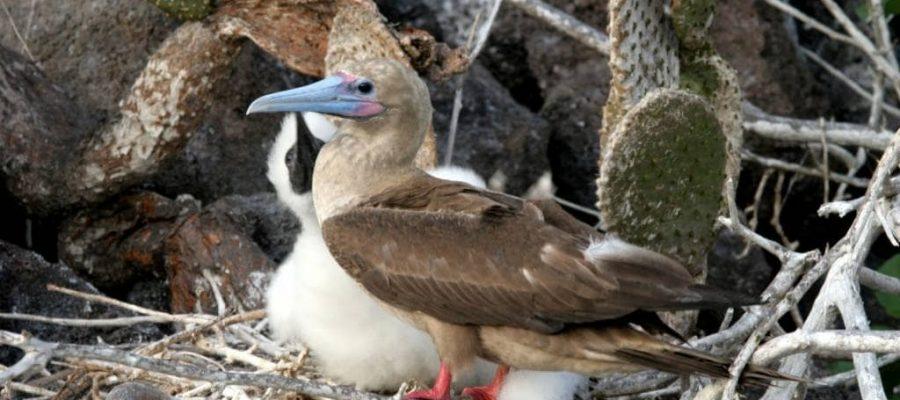 Besonders leuchtende Füße hat der Galapagos Rotfußtölpel