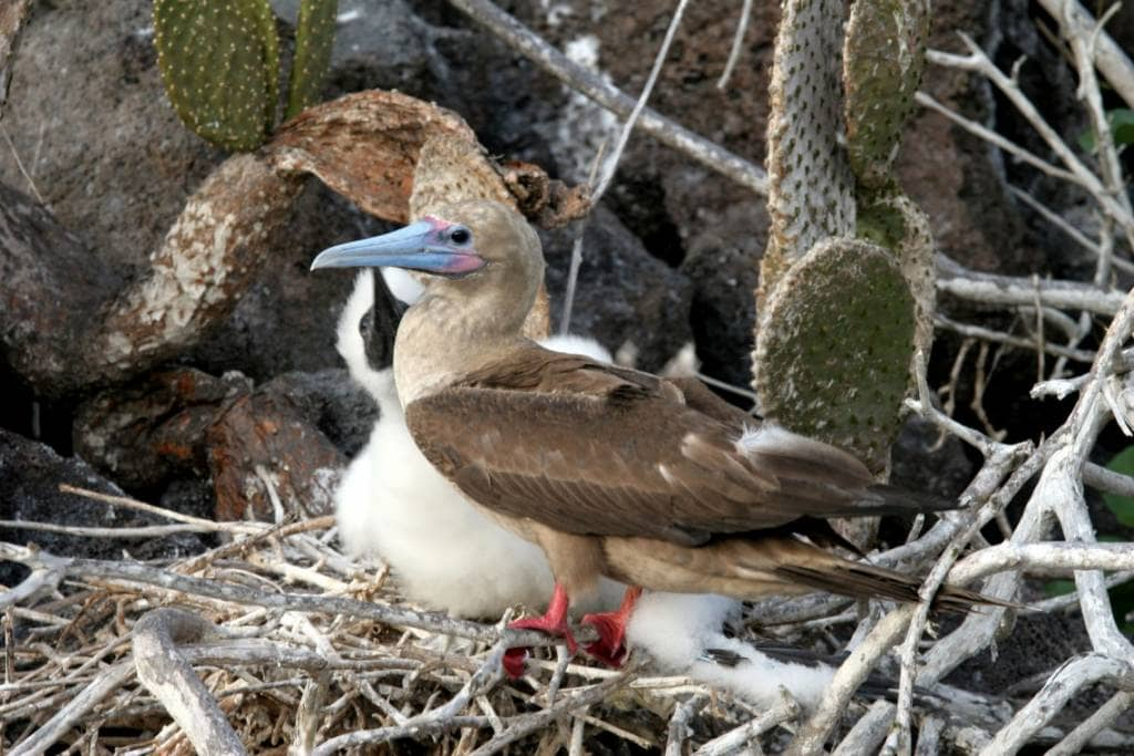 Der heimliche Star der Galapagos-Insel Genovesa - Der Rotfußtölpel