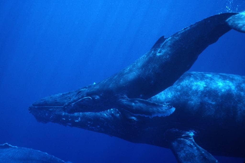 Buckelwale durchqueren die Galapagos-Inseln