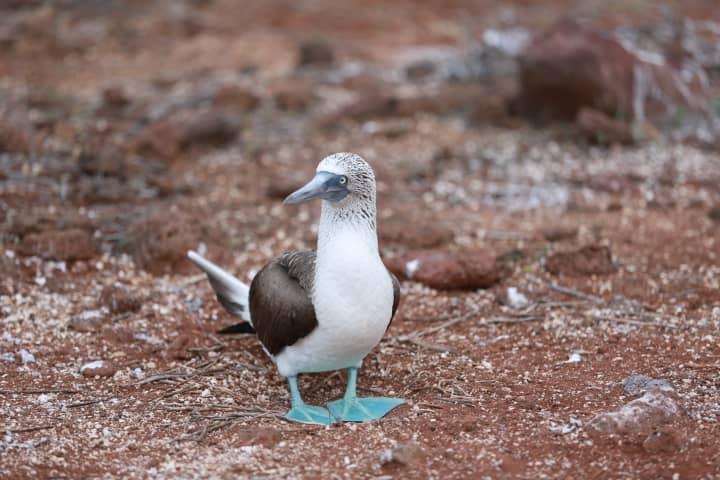 Blue footed booby on galapagos Island - Birding