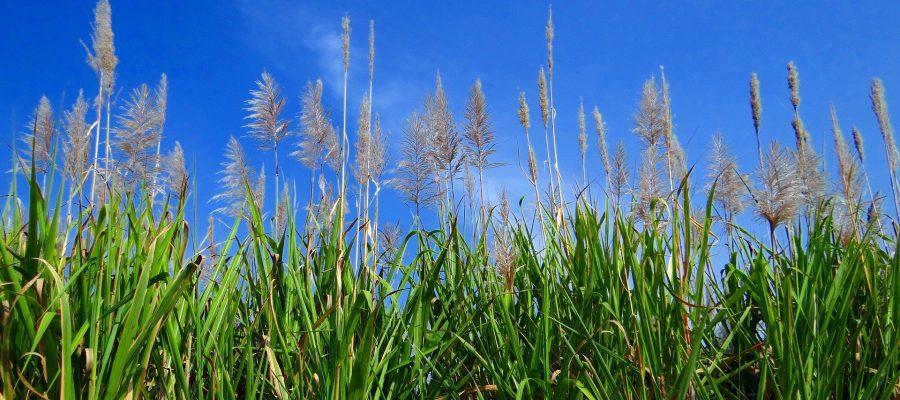 Zuckerrohr in der Blüte - Ecuador-Reisen – Küste und Traumstrände entdecken