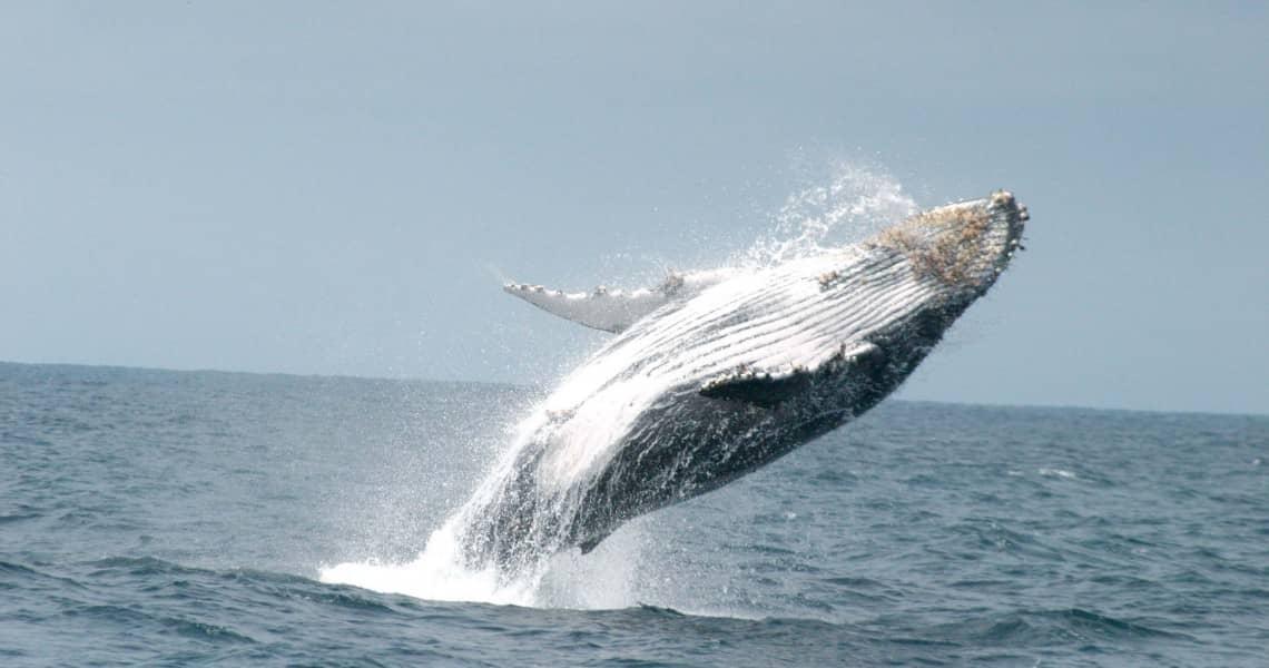 Walbeobachtung vor der Küste von Juni bis September
