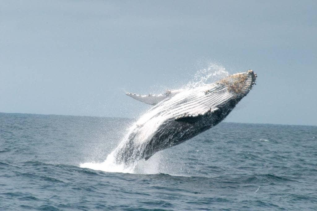 Walbeobachtung vor der Küste von Juni bis September - Ecuador-Reisen – Küste und Traumstrände entdecken