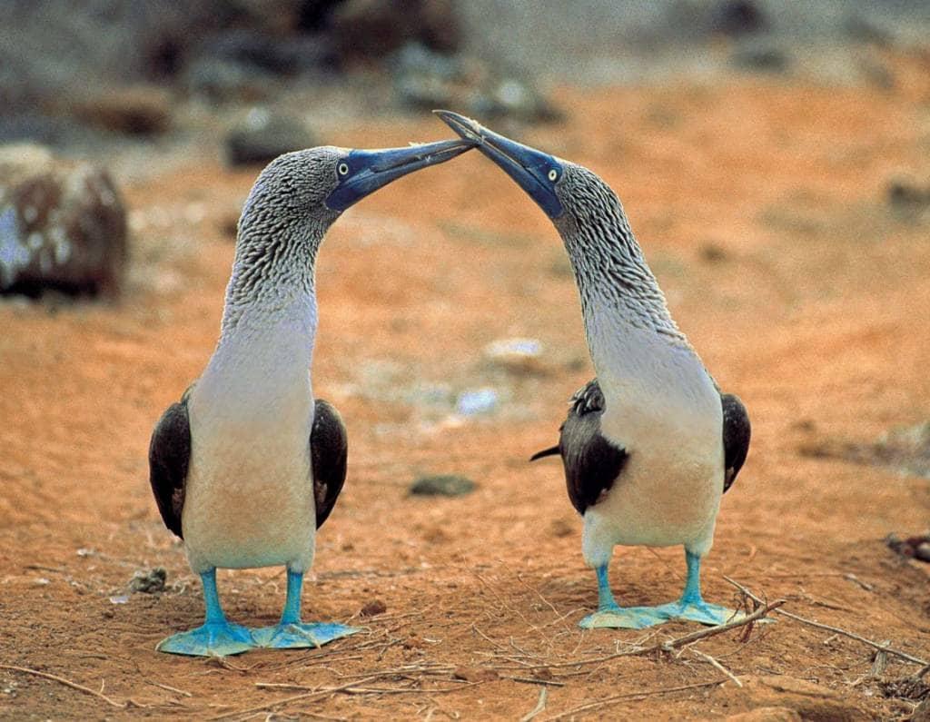 Die Galapagos-Inseln sind die Heimat der Blaufußtölpel
