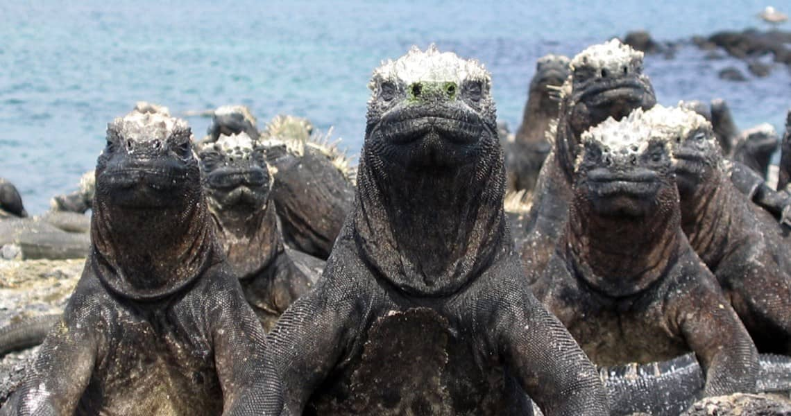 Die Gozillas der Galapagos-Inseln