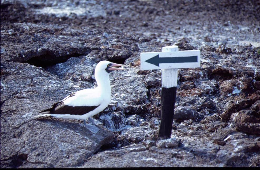 Die Tierwelt der Galapagos-Inseln - Ein Maskentölpel auf Abwegen