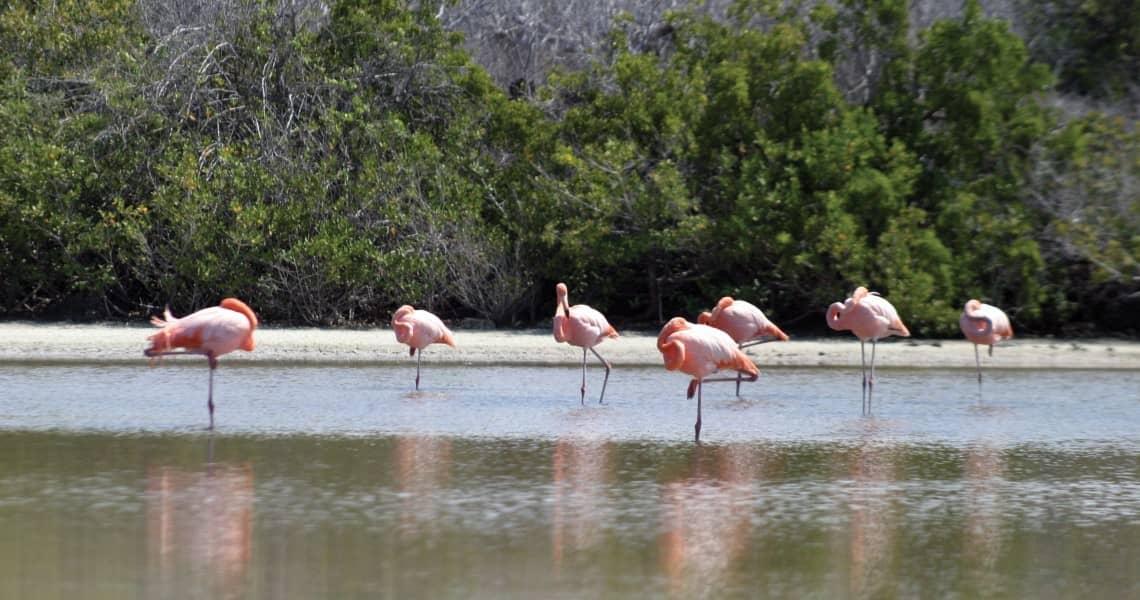 Flamingos bevölkern die Lagunen der Galapagos-Inseln