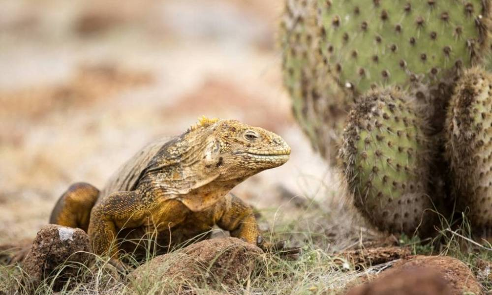 land iguanas are easy to see on a Galapagos trip on the iguana island Santa Fé