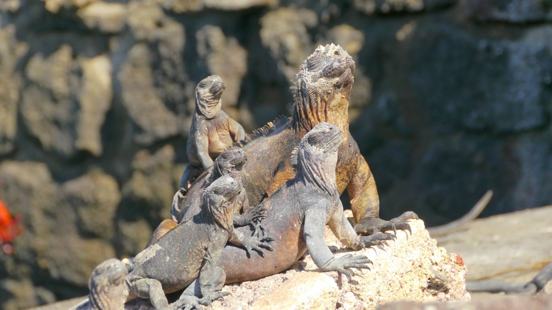 Galapagos-Inseln - Meerechsen beim Sonnenbaden