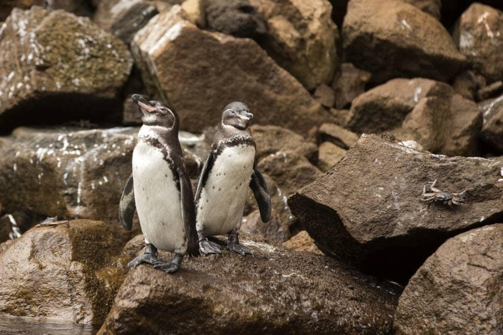 Galapagos Pinguine am Punta Vicente Roca Point