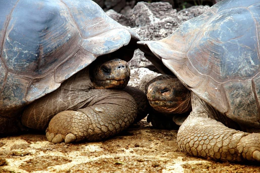 Die imposanten Riesenschildkröten auf Galapagos
