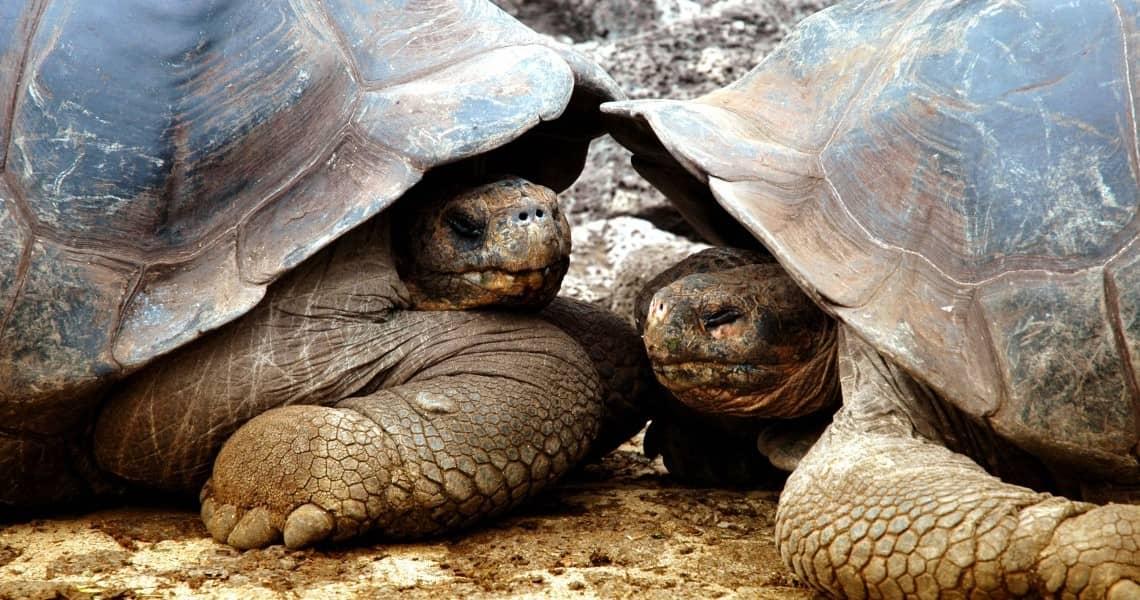 Kreuzfahrt Gay auf die Galapagos Inseln Schildkröten auf Santa Cruz